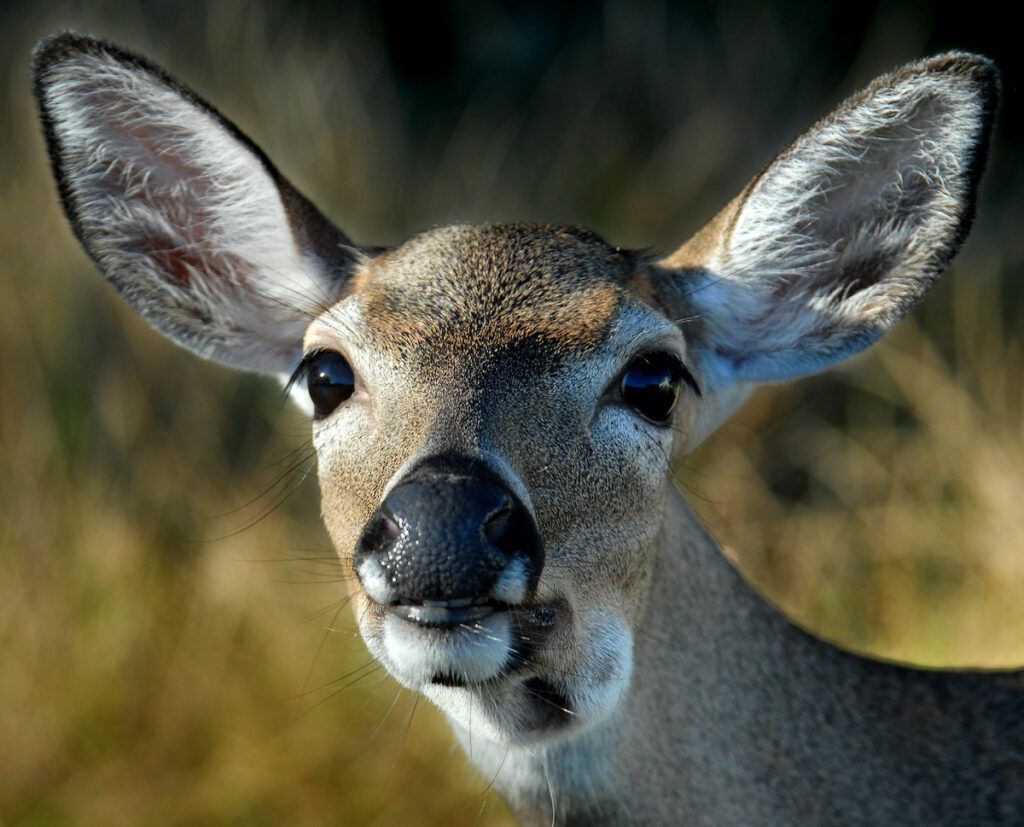 Key deer closeup, Florida Keys.
