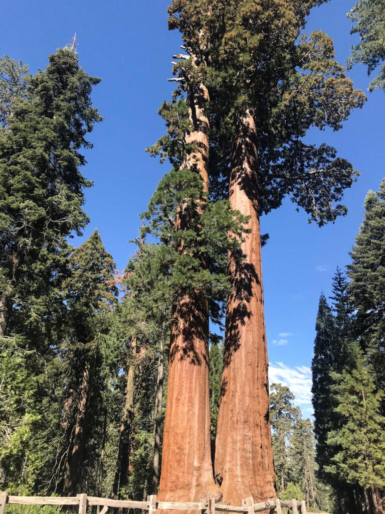Giant Sequoias.