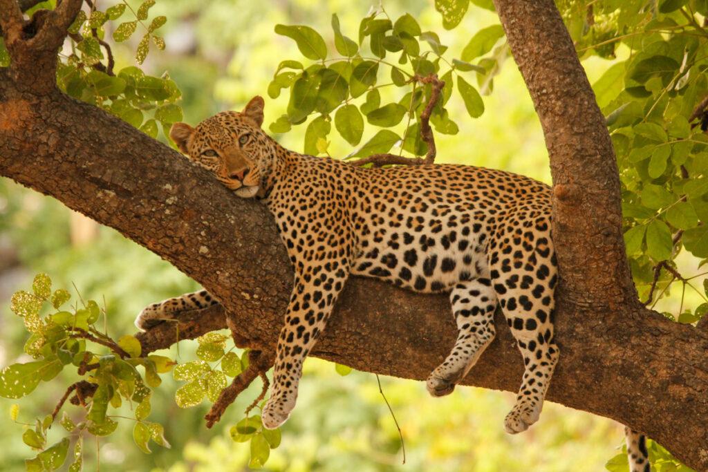 Leopard spotted on safari.