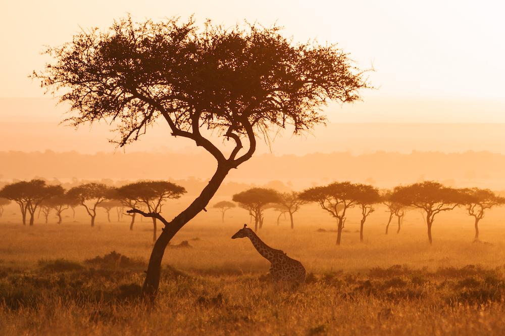 Giraffe Mara Triangle, Masai Mara, Kenya