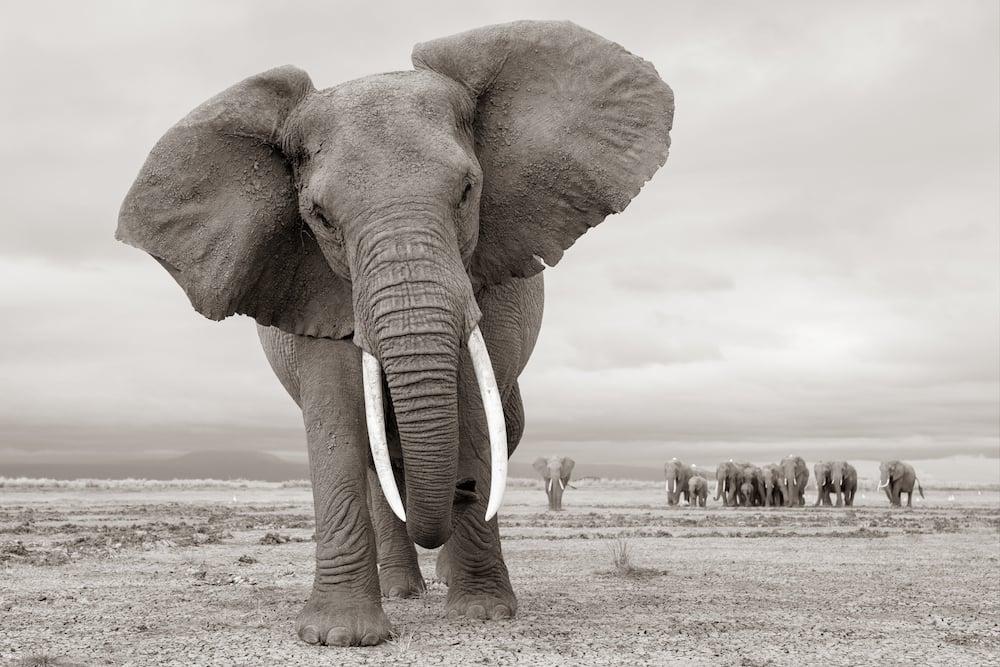Elephants Amboseli, Kenya / Masai Mara, Kenya