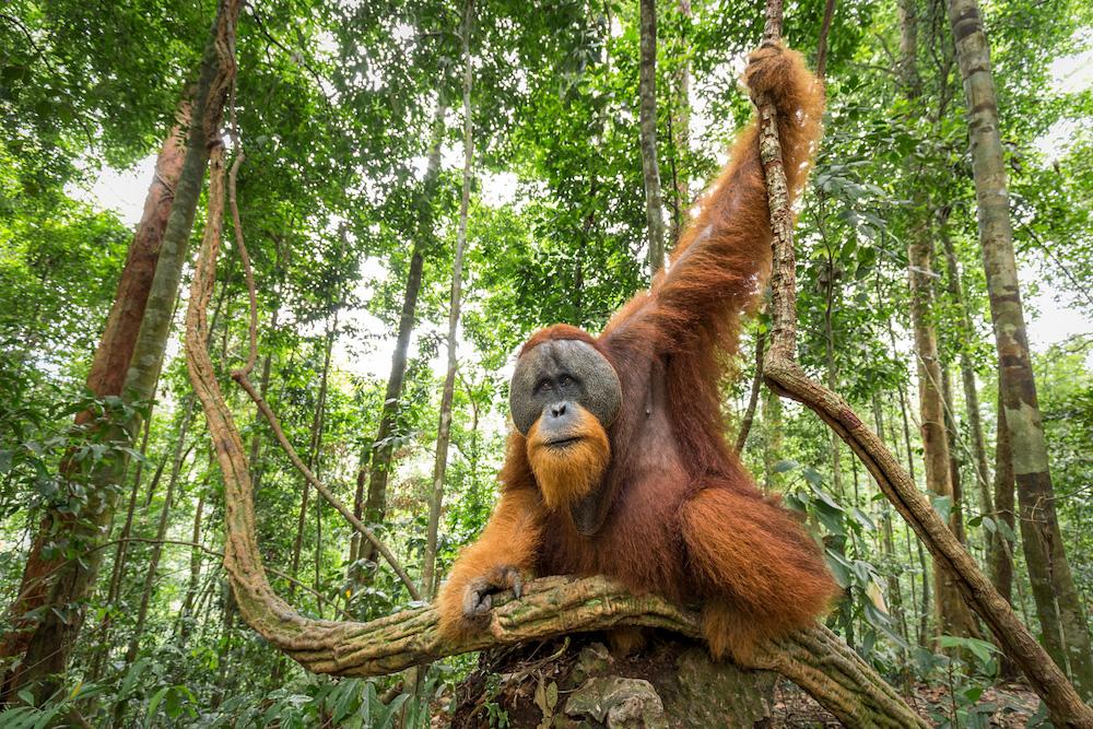 Orangutan Sumatra, Indonesia
