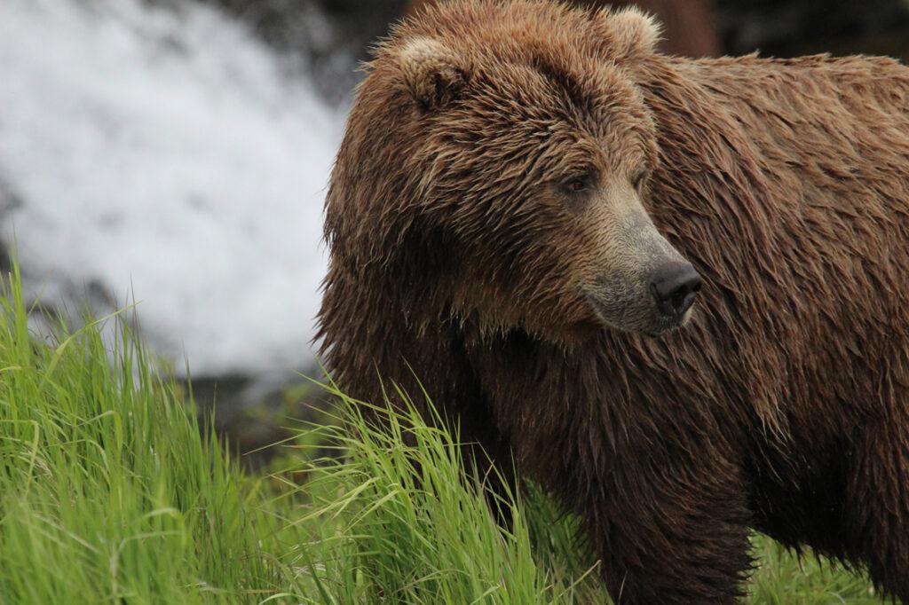 McNeil River Wet Bear in Katmai National Park