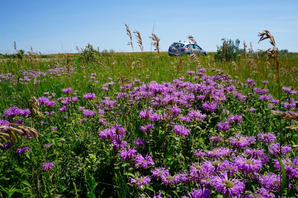 North Unit Scenic Drive With Wildflowers in the Theodore Roosevelt National Park.