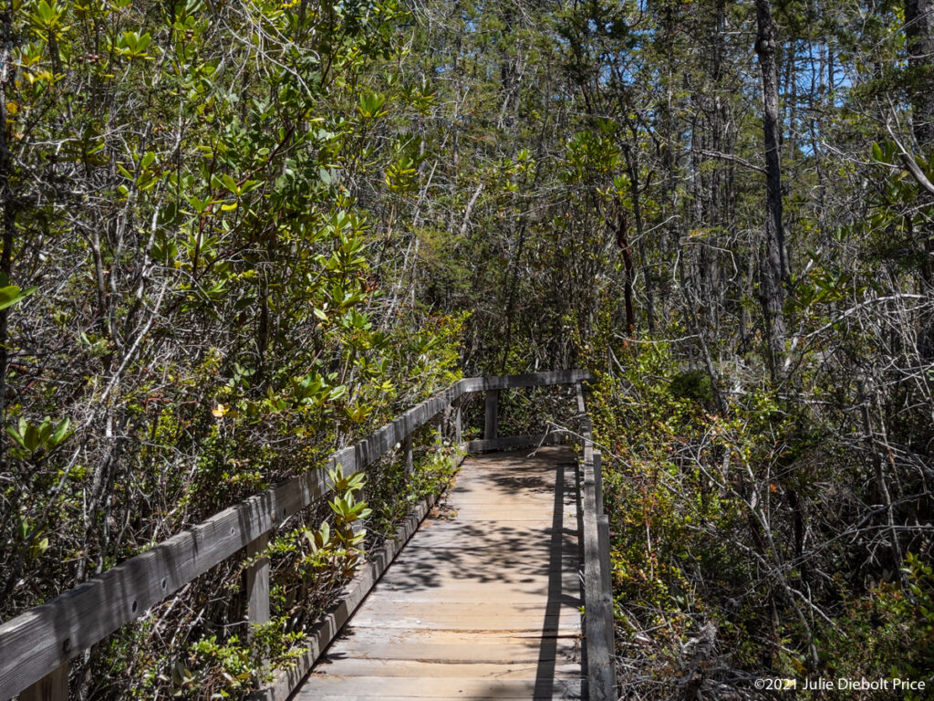 Pygmy Forest boardwalk trail