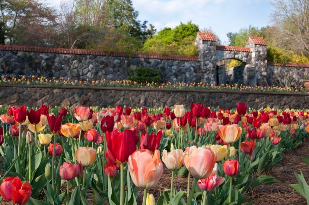 Tulips at the Biltmore Gardens