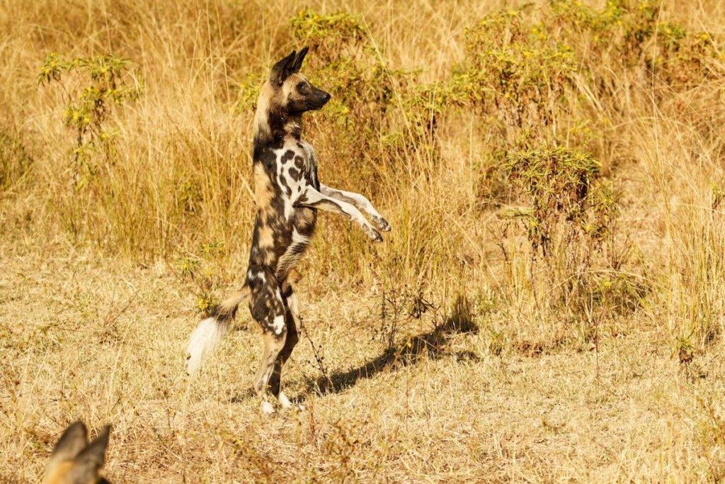 Wild Dog Spotted On Safari