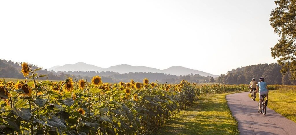 Biking near a sunflower field.