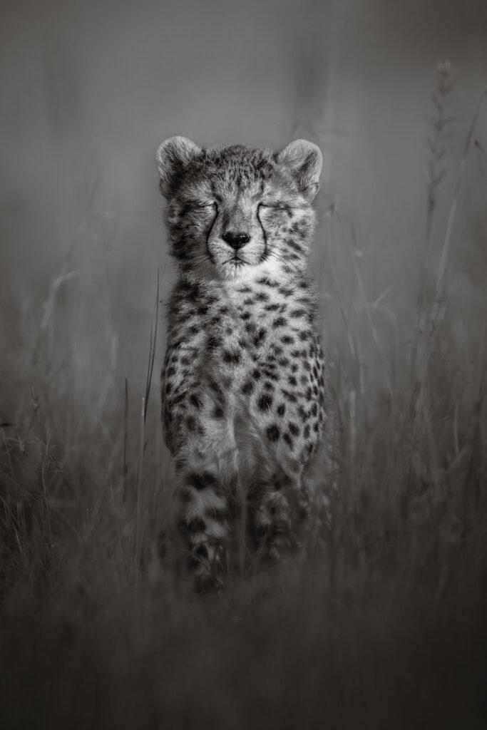 Cheetah Mara North