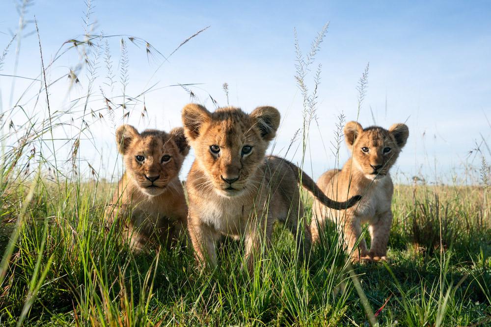 Lions Masai Mara, Kenya