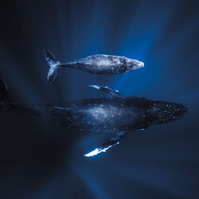 Humpback Whales Tonga Byron bay