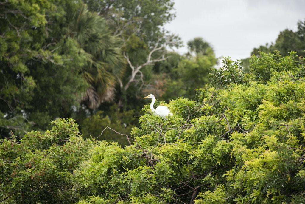 Audubon rookery at Venice, FL.