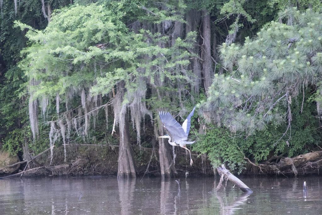 Blue Heron in Caddo Lake, TX.