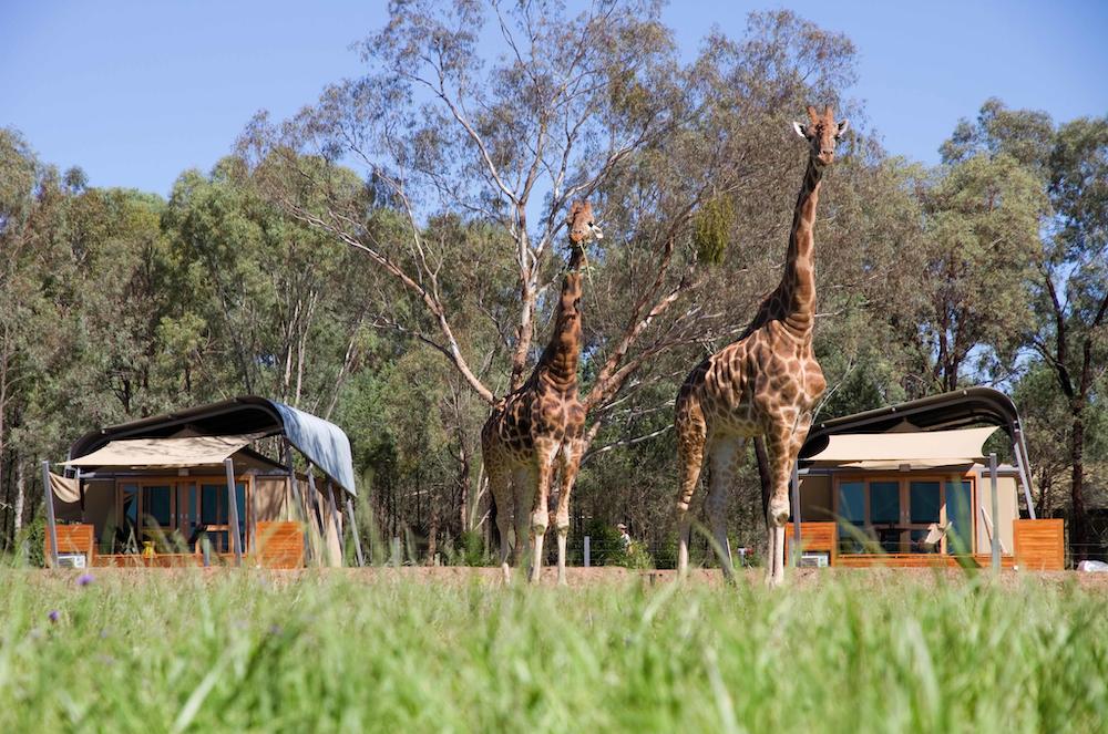 Giraffes roaming outside the Animal View Zoofari Lodges at Taronga Western Plains Zoo, Dubbo.