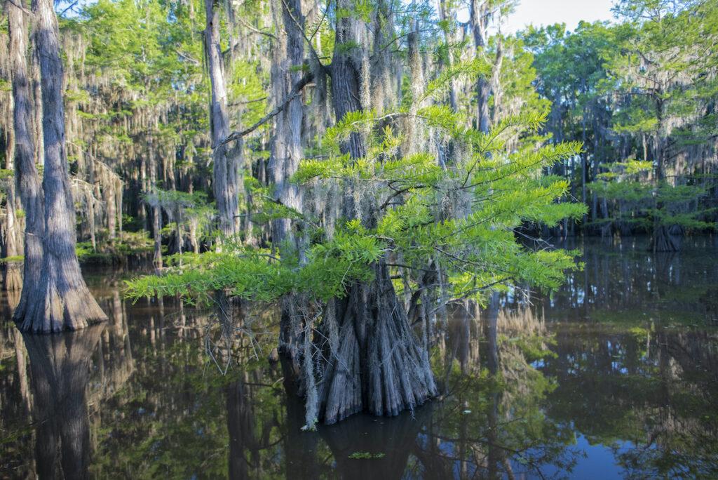 Cypress trees up close at Caddo Lake.