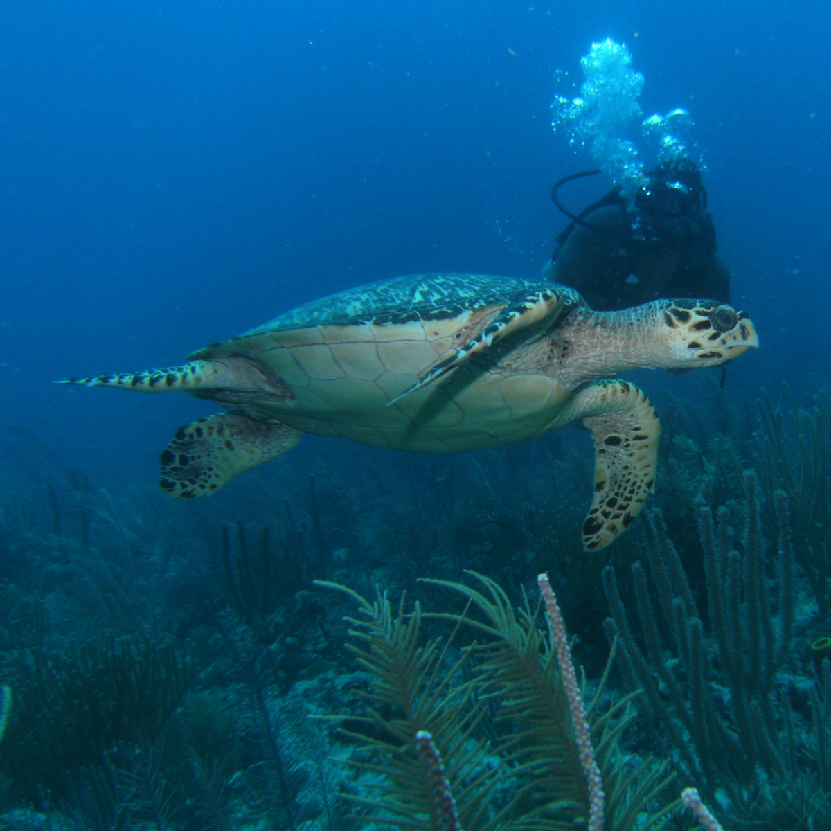 Diving with sea turtle, Ambergris Caye, Belize.