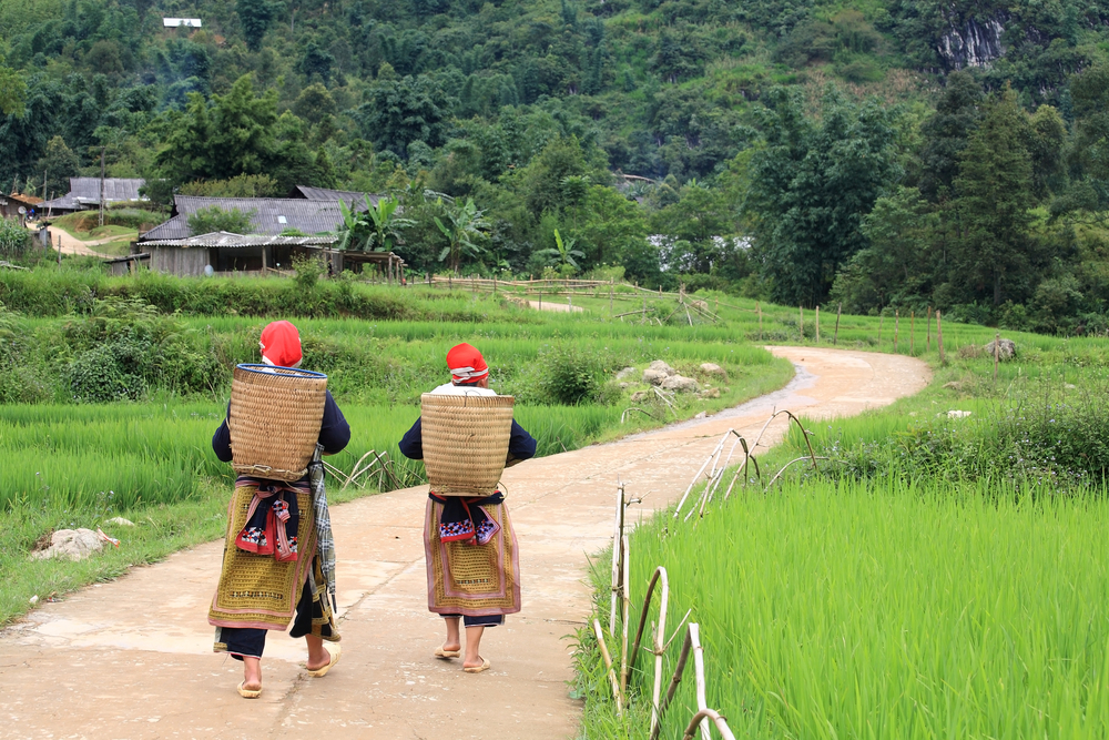 Two Hmong Hilltribe women with traditional fabric dress carry basket near terraced paddy rice fields and walk on the footpath road to their mountain village in Sapa, Vietnam.