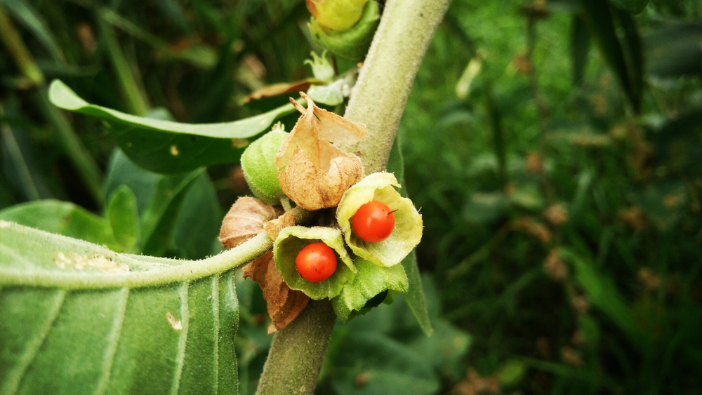 Withania somnifera, commonly known as Ashwagandha (winter cherry), is an important medicinal plant that has been used in Ayurved