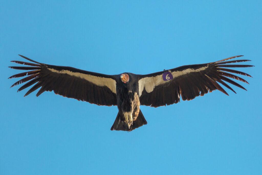 Flying Condor with Tag #6 at Pinnacles National Park.
