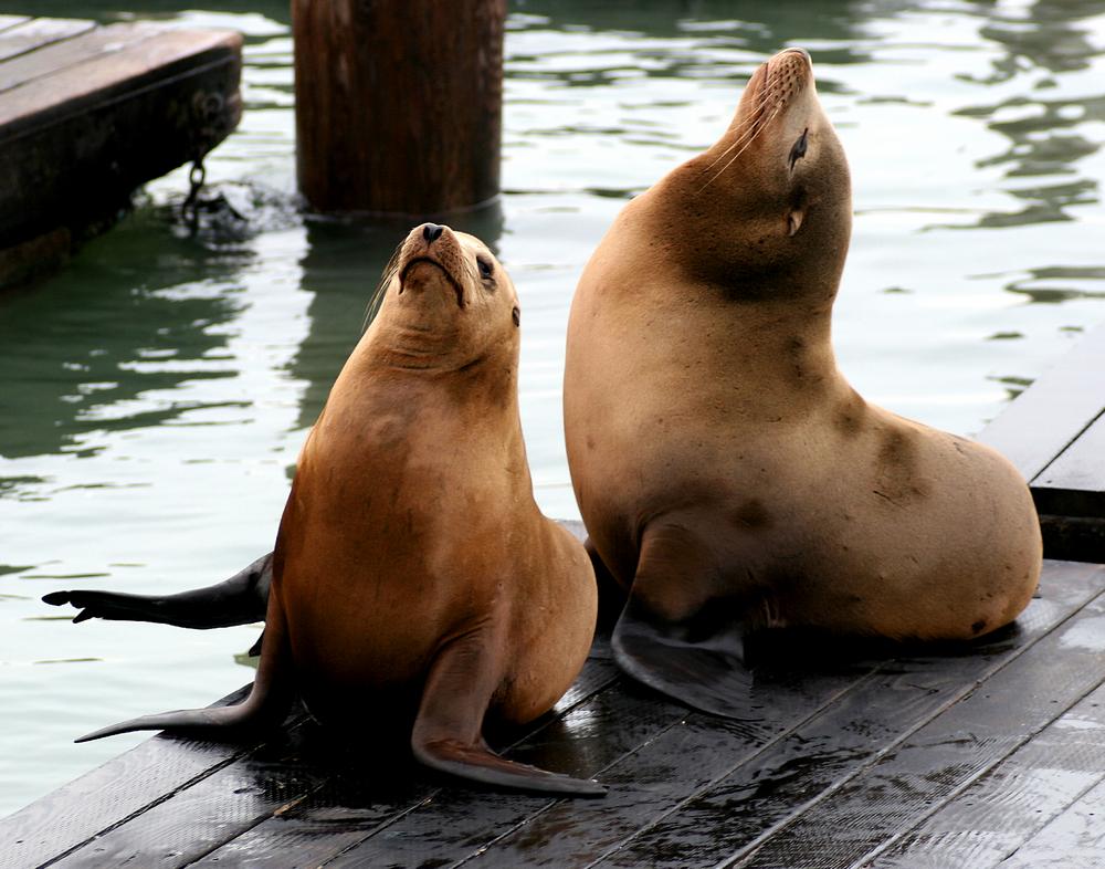 Sea lions at Pier 39 in Fisherman's Wharf, San Francisco