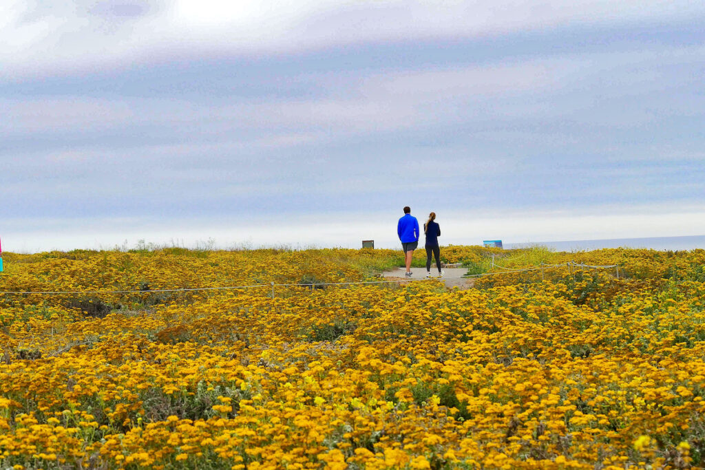 Wildflowers blossom along Bluff trail, Montana De Oro State Park, California, USA.