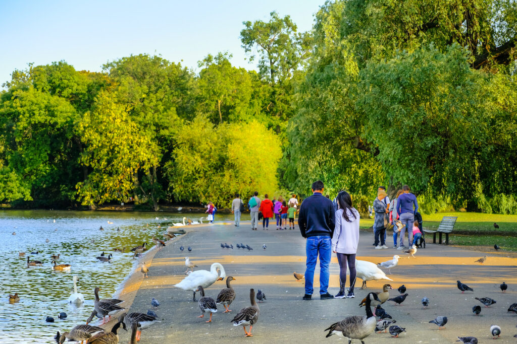 Man and woman feeding swans and ducks in Regent's Park, London, England, in summer at sunset.