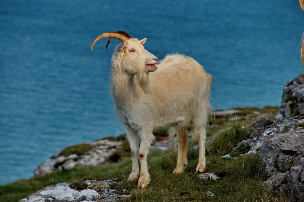 Kashmiri Goat on the Great Orme Llandudno North Wales.