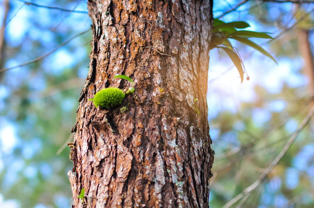 Evergreen Pycnogenol coniferous tree