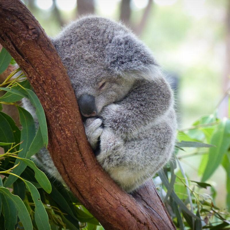 Cute Sleeping Baby Koala Bear in Queensland Australia sitting in Eucalyptus Tree. Adorable Sleepy Koala.