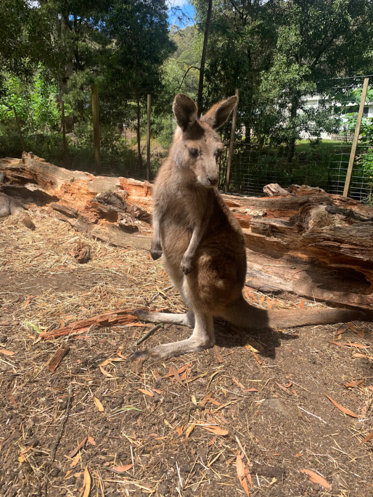 Kangaroo at Wings Wildlife Park