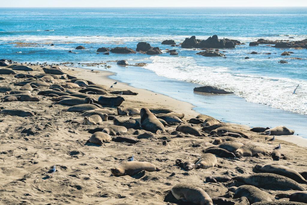 Elephant seal colony at Hearst San Simeon State Park, California Coast.
