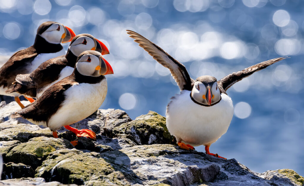 Puffins on the Farne Islands in Northumberland County, England.