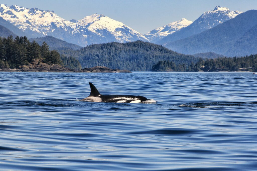 Orca spotted while whale watching in Tofino, Vancouver Island, mountains in the background.