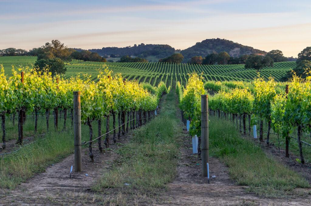 Vineyard in Sonoma, California.
