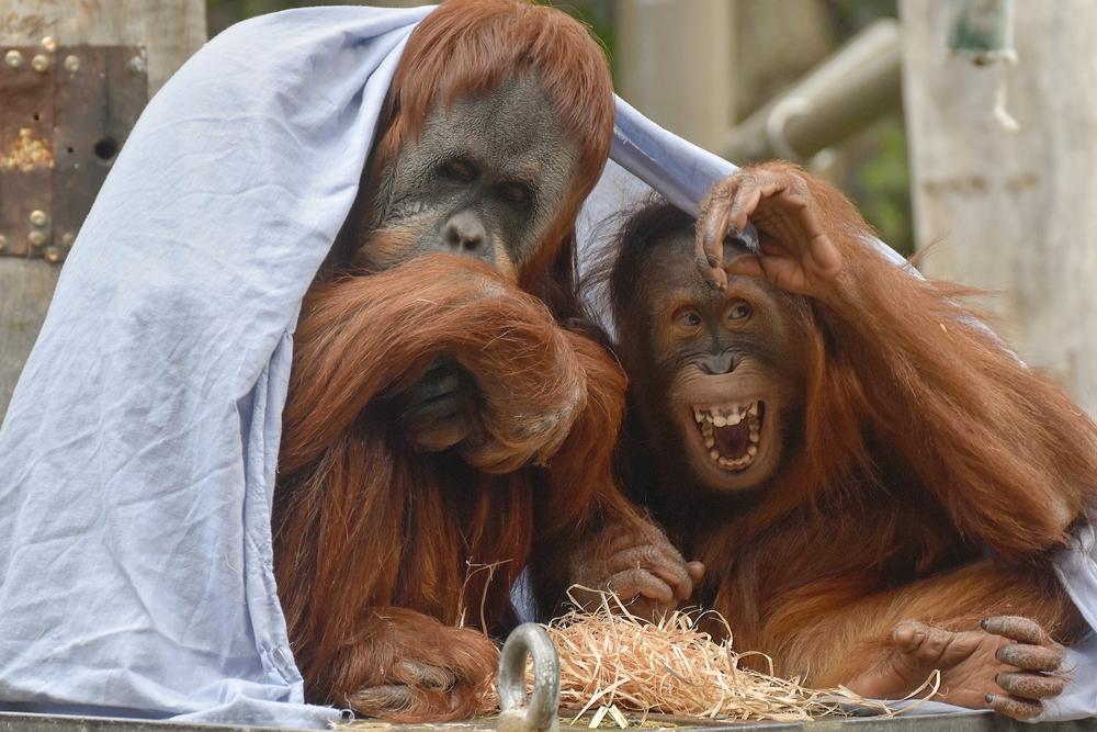orangutans at the Melbourne Zoo