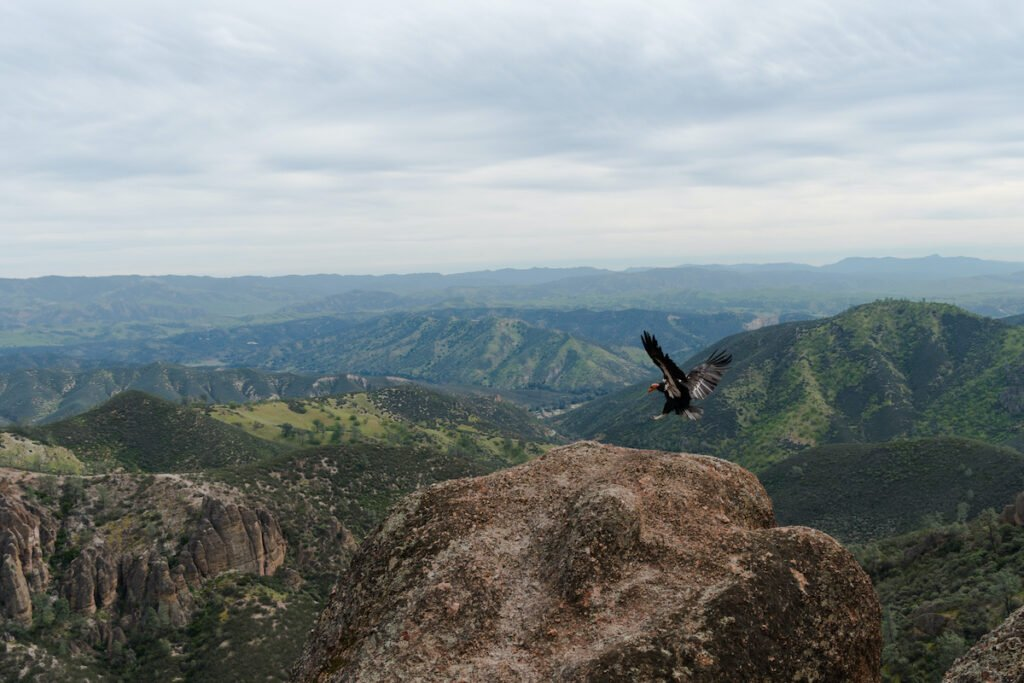 California Condor lands on the edge of a cliff in Pinnacles National Park