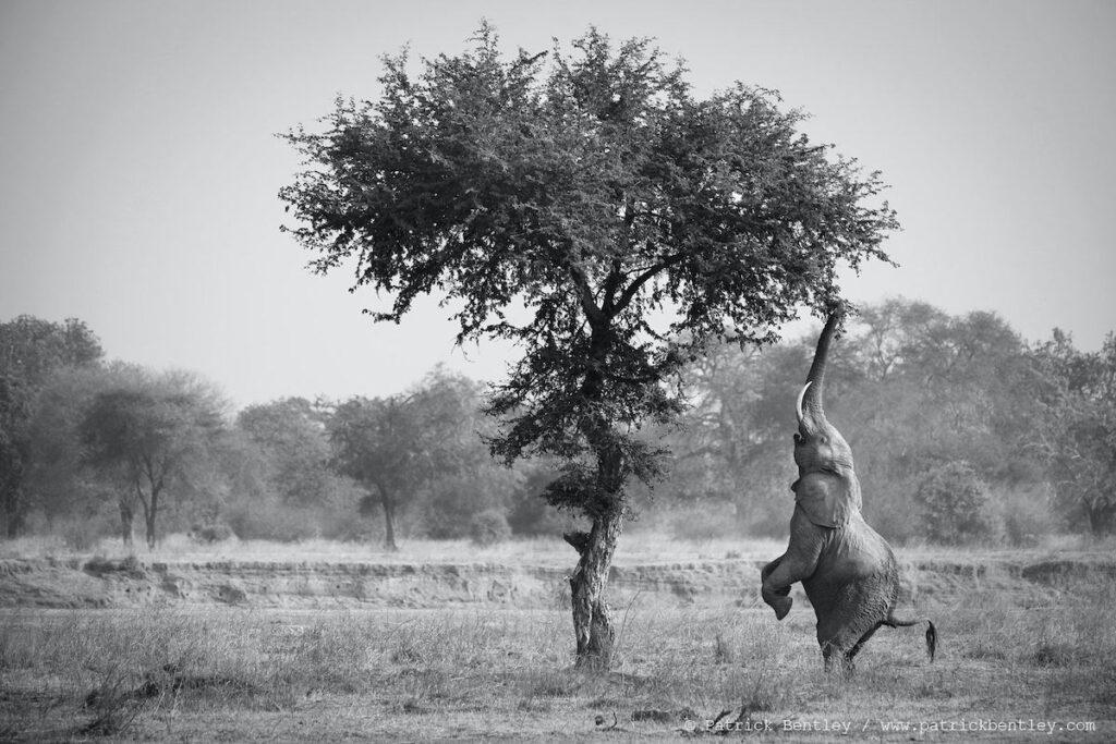 Elephant balancing below tree