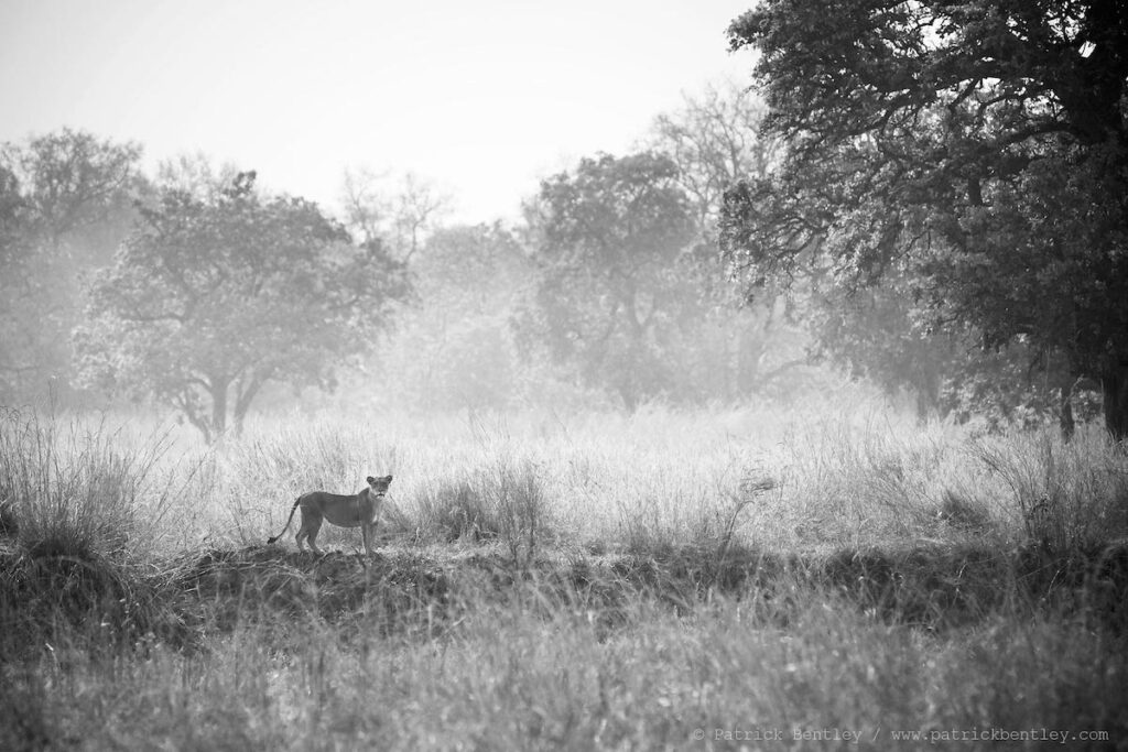 Lion cub on a misty morning