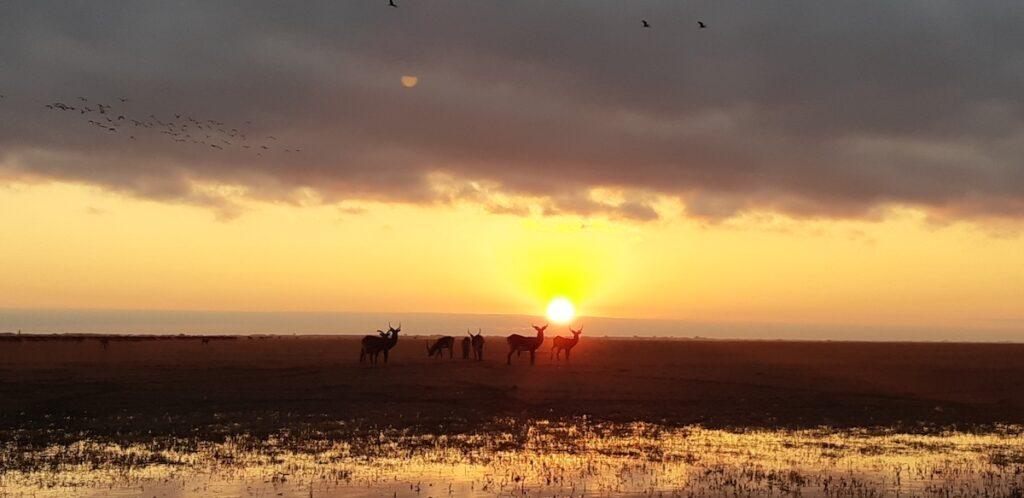 Black lechwe at sunset