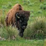 Bison in the Arikaree Breaks