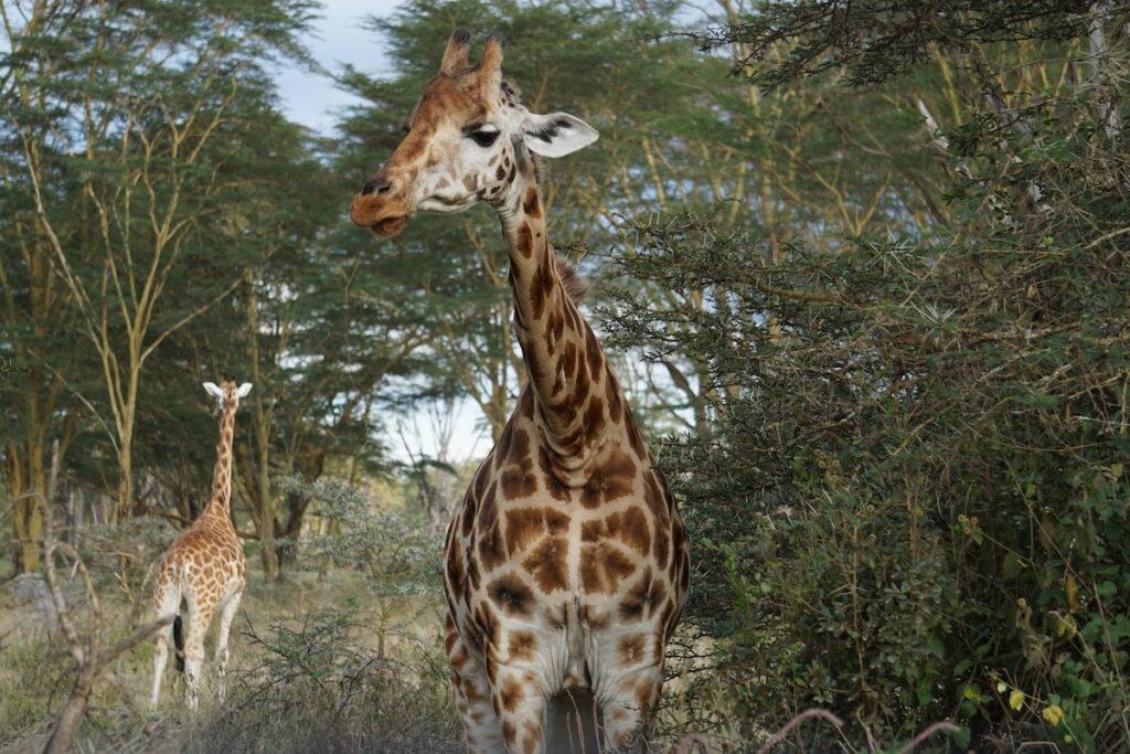 Giraffes at the Masai Mara Game Reserve in Kenya, Africa