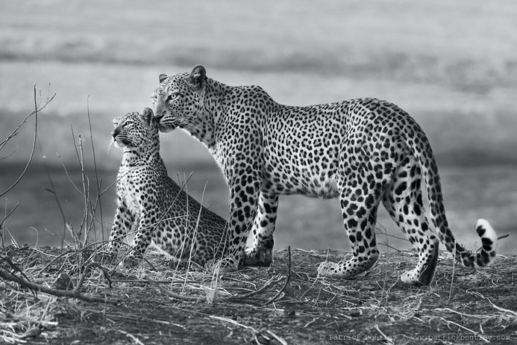 Leopard and her cub