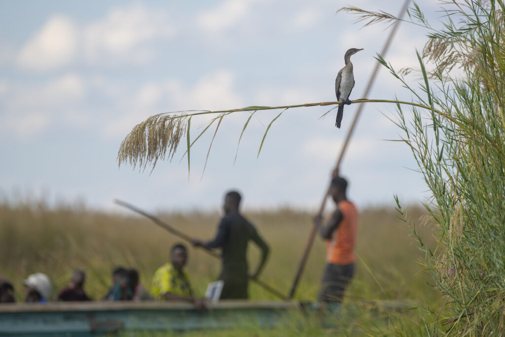 A cormorant is framed by the reeds and a passing canoe