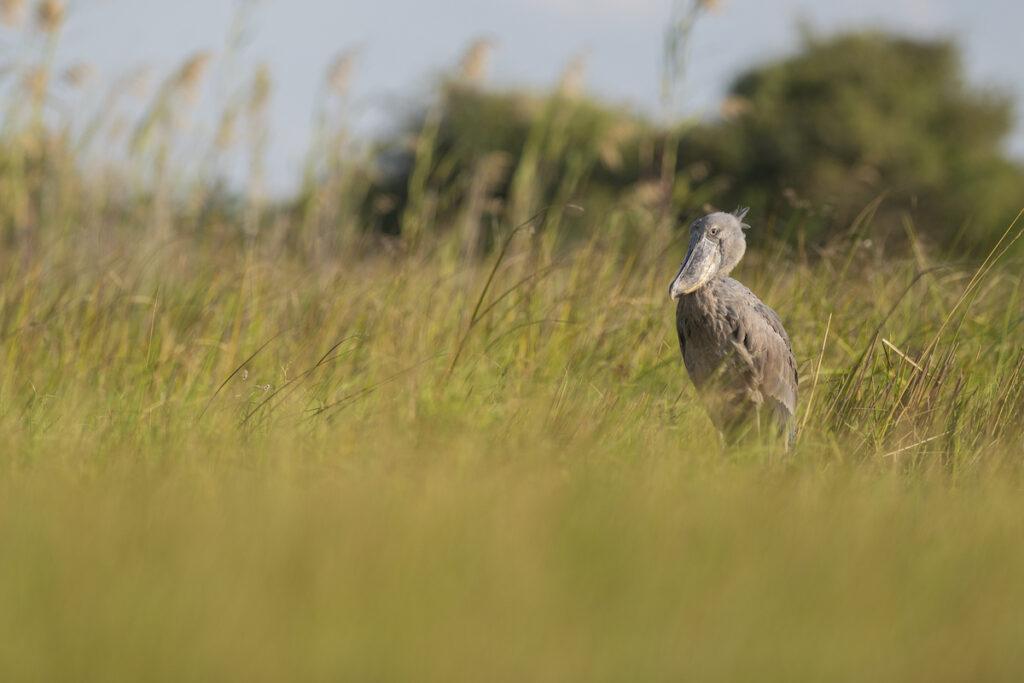 Shoebill stork in Africa