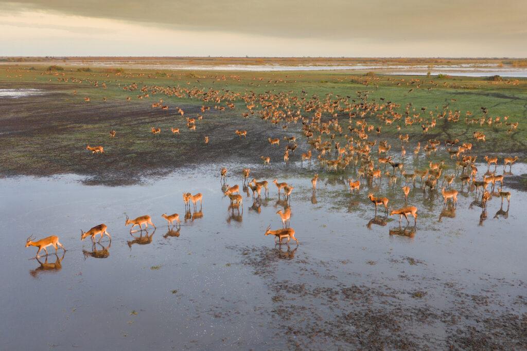 Black lechwe at Bangweulu Swamps