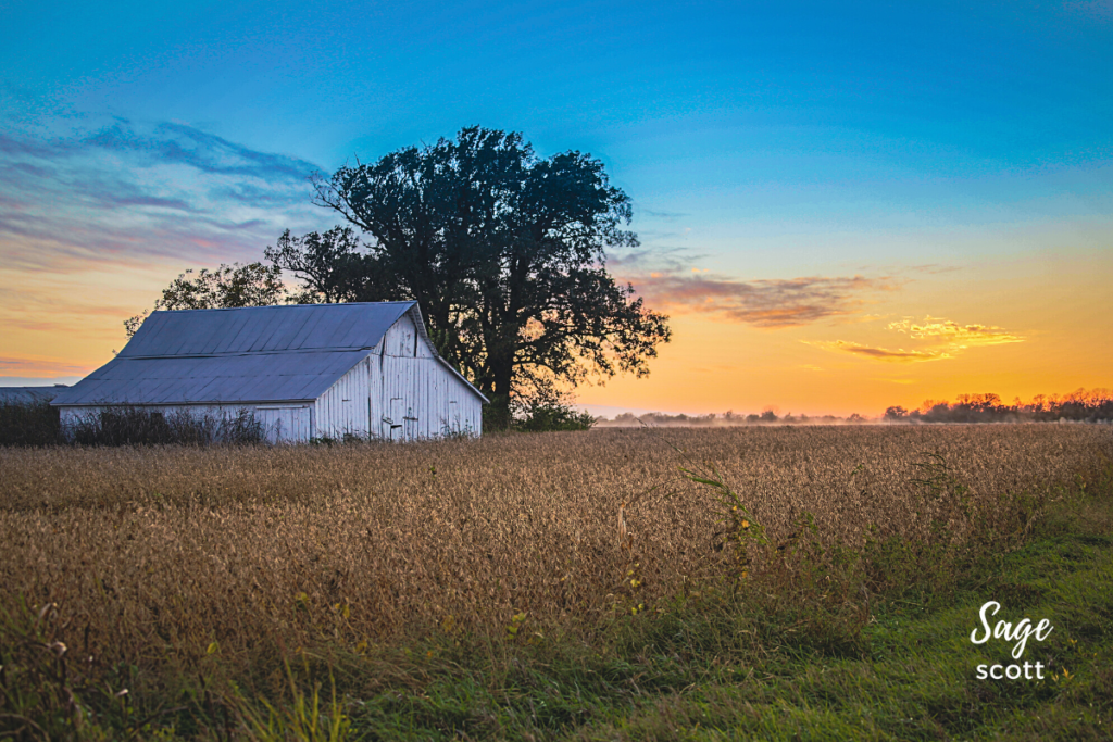 Northeast Kansas sunset: old barn with field of flaxen wheat in the foreground
