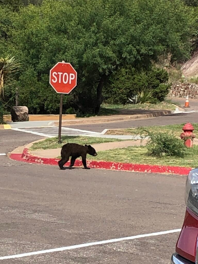 baby bear walks across street at the Chisos Basin Campground.