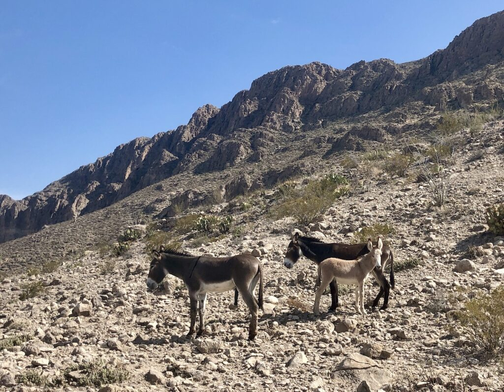 Small group of burros (donkeys) graze along the rocky cliffs at Big Bend National Park.