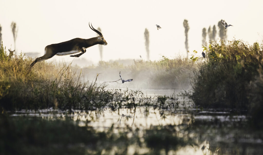 Black lechwe leaping; Mana Meadows, Africa Parks