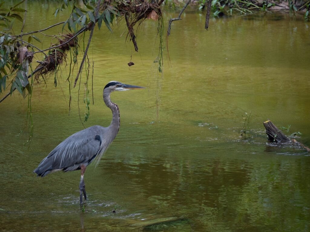 Blue heron at Panther Creek in the woods